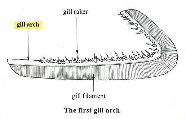 Fishbase glossary for Arches related to breathing gills in fish