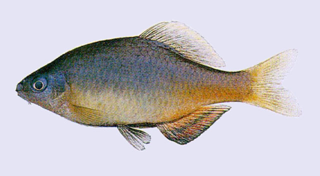 Tanakia koreensis korean oily bitterling acheilognathus for Bitterlinge fische
