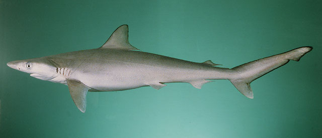 Rhizoprionodon acutus Fishshark Longmans Shark Milk