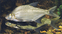 Image of Abramis brama (Freshwater bream)