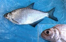 Image of Ballerus sapa (White-eye bream)