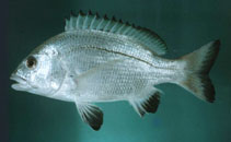 Image of Acanthopagrus omanensis (Black Margined Seabream)