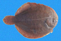 Image of Achirus klunzingeri (Brown sole)