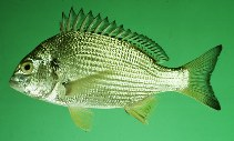 Image of Acanthopagrus latus (Yellowfin seabream)