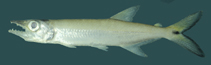 Image of Acestrorhynchus microlepis (Pike characin)