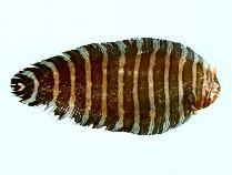 Image of Aesopia cornuta (Unicorn sole)