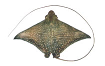 Image of Aetomylaeus maculatus (Mottled eagle ray)