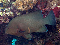 Image of Aethaloperca rogaa (Redmouth grouper)