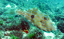 Image of Aluterus heudelotii (Dotterel filefish)