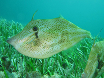 Image of Aluterus schoepfii (Orange filefish)