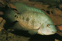 Image of Astatheros macracanthus (Blackthroat cichlid)