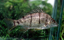 Image of Amniataba percoides (Barred grunter)