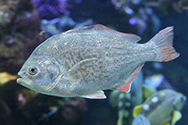 Image of Amphistichus rhodoterus (Redtail surfperch)