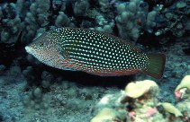 Image of Anampses cuvier (Pearl wrasse)