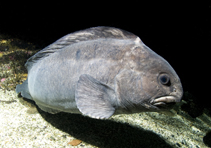 Image of Anarhichas denticulatus (Northern wolffish)