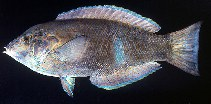 Image of Anampses geographicus (Geographic wrasse)
