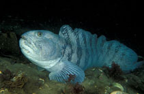 Image of Anarhichas lupus (Atlantic wolffish)