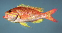 Image of Anthias nicholsi (Yellowfin bass)