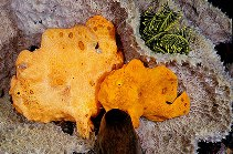 Image of Antennarius pictus (Painted frogfish)