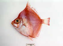 Image of Antigonia rubicunda (Rosy deepsea boarfish)