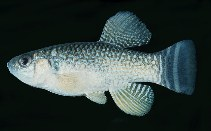 Image of Aphanius dispar (Arabian pupfish)