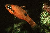 Image of Apogon maculatus (Flamefish)