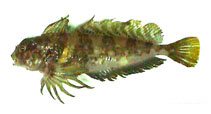 Image of Archistes biseriatus (Scaled sculpin)