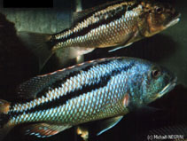Image of Aristochromis christyi