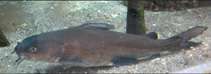 Image of Ariopsis felis (Hardhead sea catfish)
