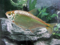 Image of Astyanax aeneus (Banded tetra)