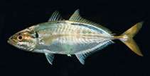 Image of Atule mate (Yellowtail scad)