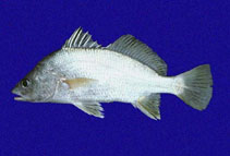 Image of Bairdiella armata (Armed croaker)