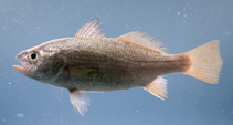 Image of Bairdiella chrysoura (Silver perch)