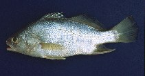 Image of Bairdiella ronchus (Ground croaker)