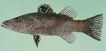 Image of Belonoperca chabanaudi (Arrowhead soapfish)