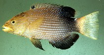 Image of Bodianus loxozonus (Blackfin hogfish)