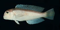 Image of Branchiostegus japonicus (Horsehead tilefish)