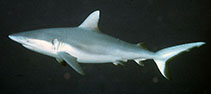 Image of Carcharhinus amblyrhynchos (Blacktail reef shark)