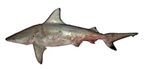 Image of Carcharhinus amblyrhynchoides (Graceful shark)