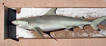 Image of Carcharhinus cautus (Nervous shark)
