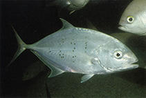 Image of Carangoides gymnostethus (Bludger)