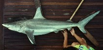 Image of Carcharhinus limbatus (Blacktip shark)