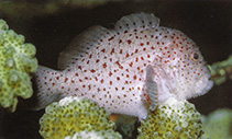 Image of Caracanthus maculatus (Spotted coral croucher)