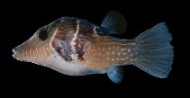 Image of Canthigaster ocellicincta (Shy toby)