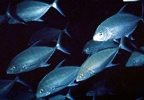 Image of Carangoides orthogrammus (Island trevally)