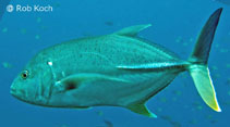 Image of Caranx papuensis (Brassy trevally)