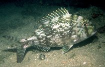 Image of Calamus penna (Sheepshead porgy)