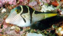 Image of Canthigaster valentini (Valentin\