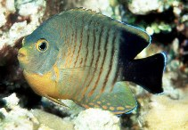 Image of Centropyge eibli (Blacktail angelfish)