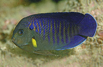 Image of Centropyge flavipectoralis (Yellowfin angelfish)
